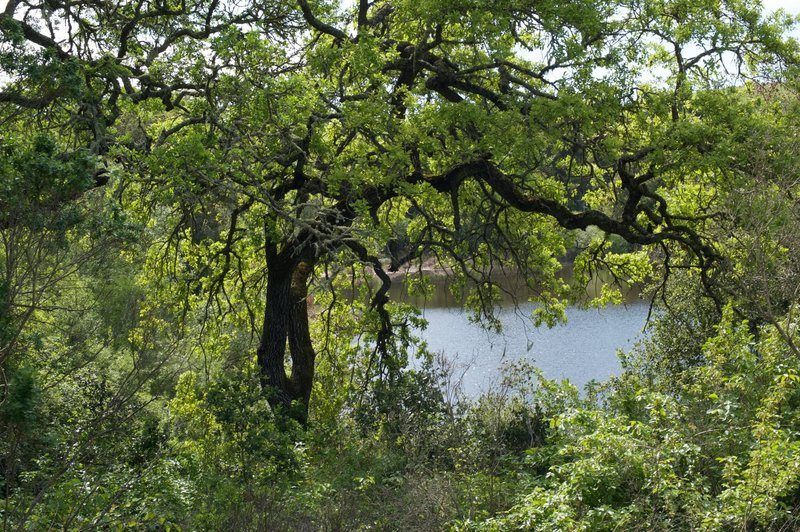 Arastradero Lake seen from the trail. It's obscured, but there are spur trails that skirt around parts of the lake.