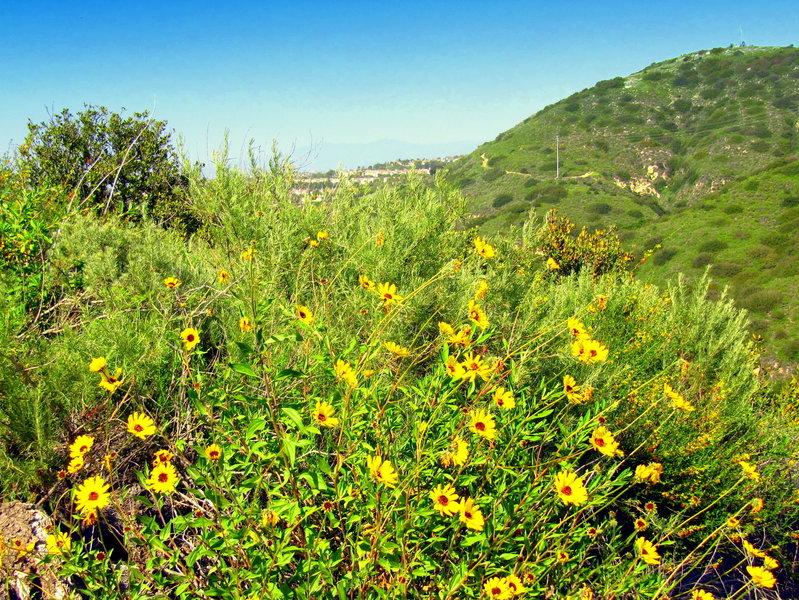 Common California Daisies.