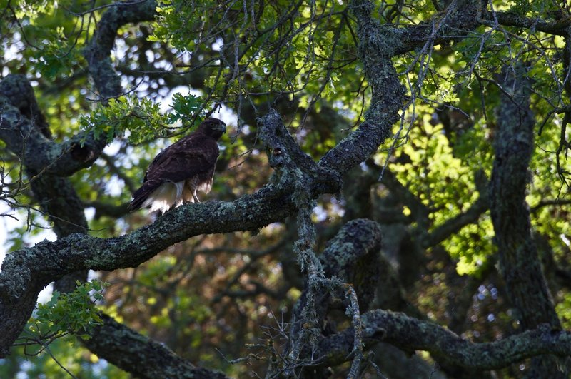 A hawk sits in a tree next to the trail.  The preserve is great for birding as it is home to a wide variety of them.