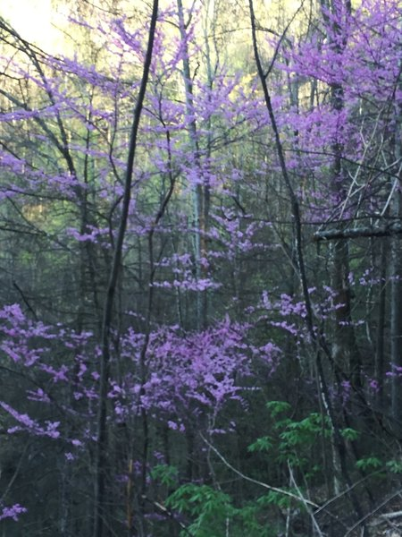 Redbuds in bloom near High Shoals Trail.