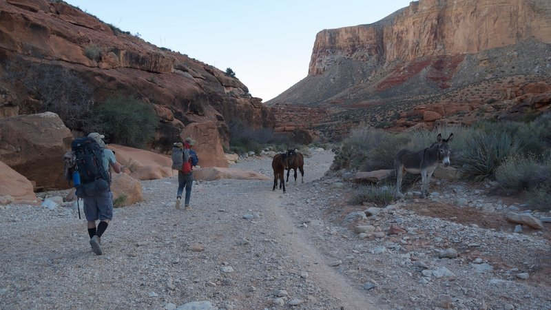 Dodging horses and pack mules on the Havasupai Trail.