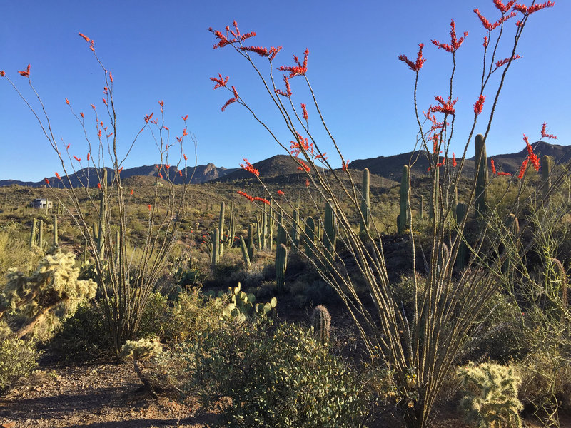 Overshadowed by the plentiful saguaros, the ocotillos of the National Park are big and colorful.