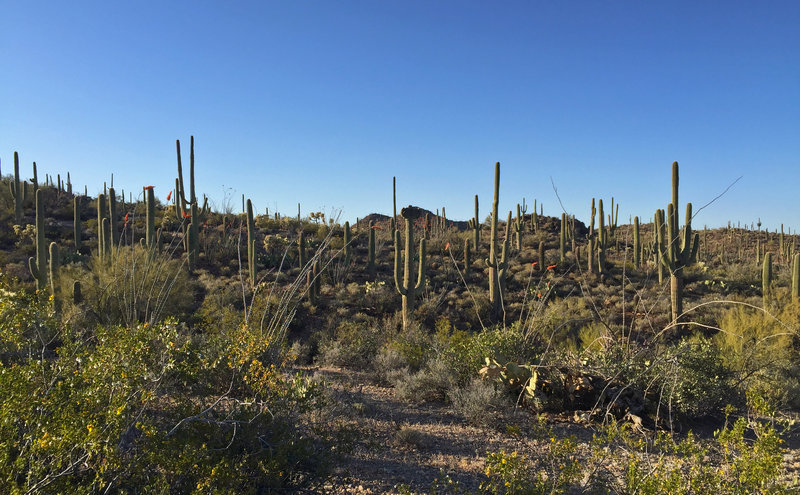 Thousands of saguaro cacti grow in the hills of Saguaro National Park's Tucson Mountain District.