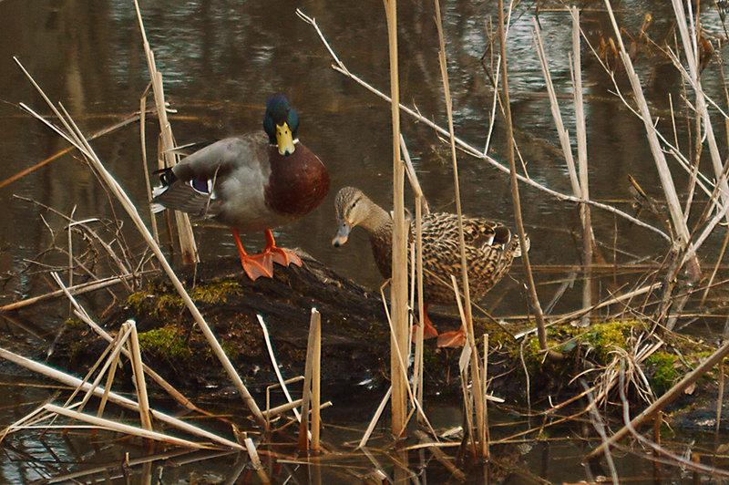 Ducks in the wetlands at Hildacy Farm Preserve.