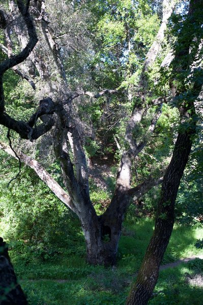 As the trail drops through the woods, large old trees sit alongside the trail.