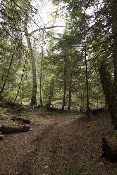 Dark cedar forest on Avalanche Campground Trail