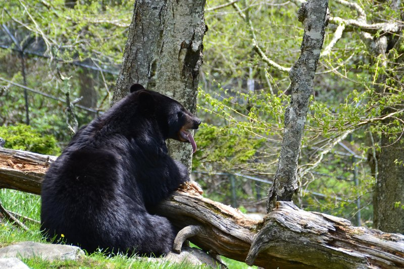 A fat Black Bear eating a snack!
