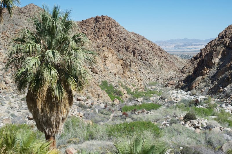A palm tree and a view down the canyon await at the end of the trail.