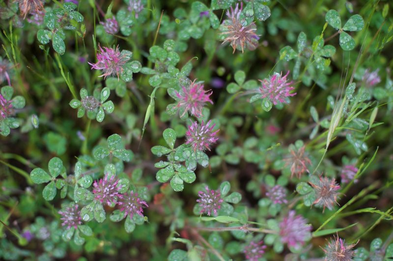 Fields of clover cover the area in the spring, and enjoy the rain that makes the area green in the winter and spring.