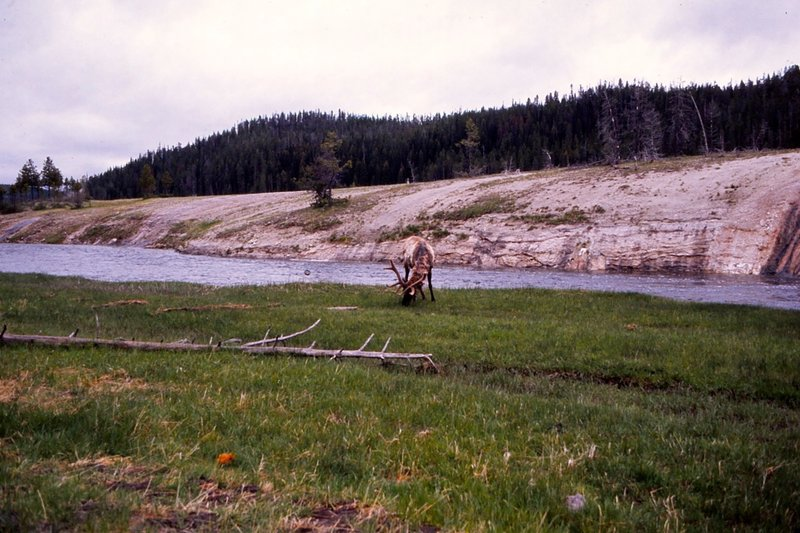 An elk grazing in June.