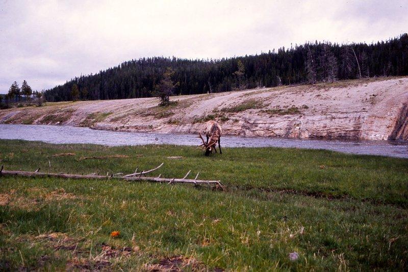An elk grazing in June.