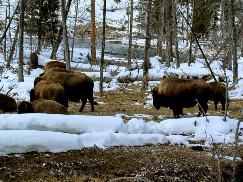 Bison enjoy grazing through the valley.