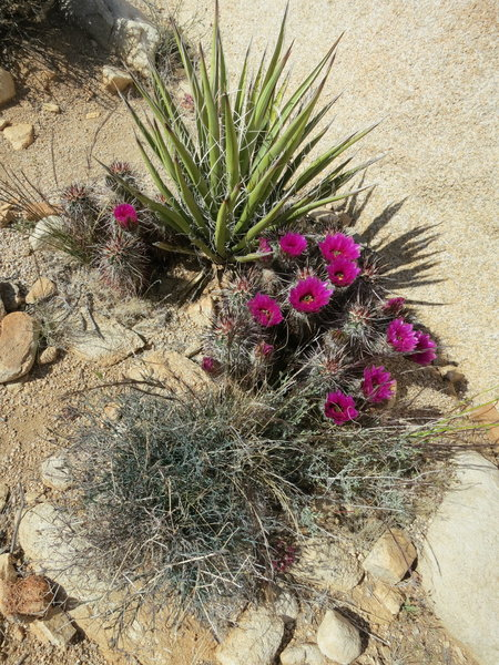 Cacti blooming along the trail.