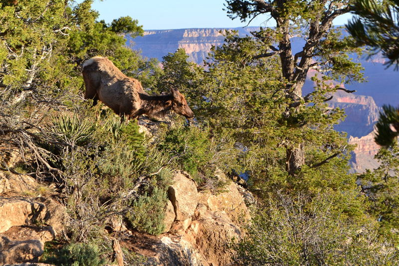 An elk rounding up some breakfast along the South Rim Trail.