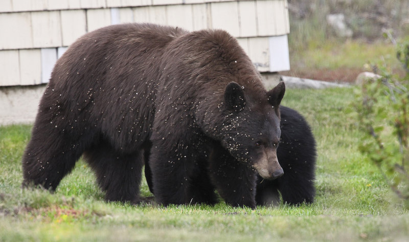 Bears tend to make their way through the area as well.