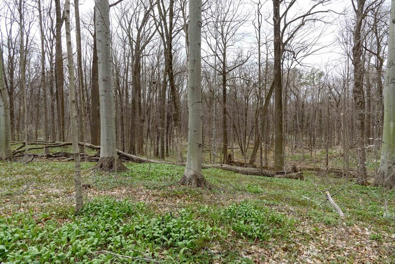 Mature maple and beech forest at Bendix Woods.