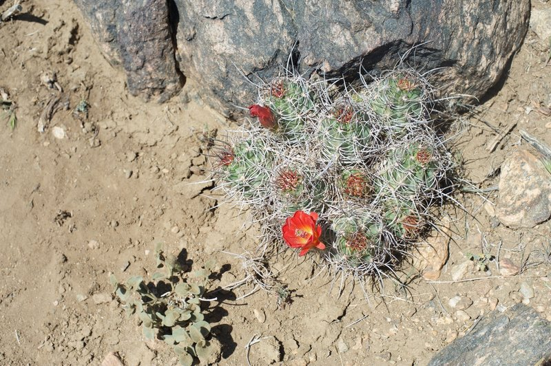 The Mojave mound cactus blooms in April alongside the trail. The spring is a great time to visit the park to see wildflowers bloom throughout the park.