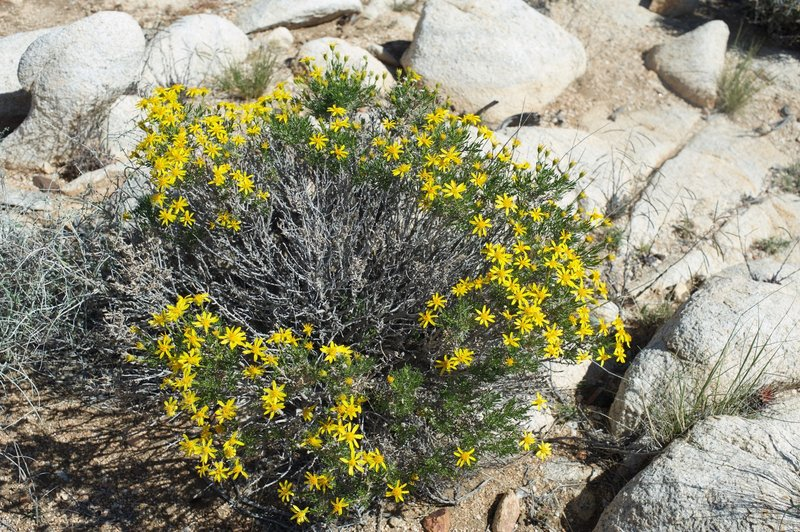 Brittlebush shrub flowers next to the trail in the spring.