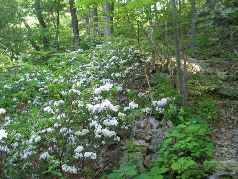 Mountain laurel along Hot Mountain-Short Mountain Trail. with permission from rootboy