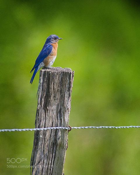 Bluebird along the trail.