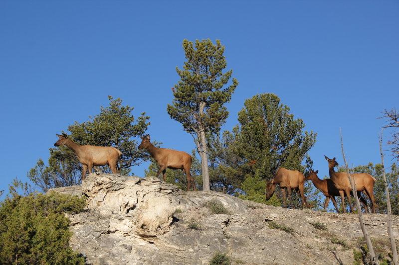 Elk on top of the hillside.