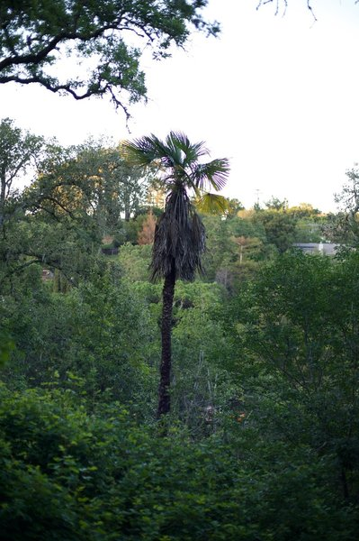 A palm tree is a curious site in the woods. Located on the Sylvan Trail, it stands out from the other vegetation in the park.