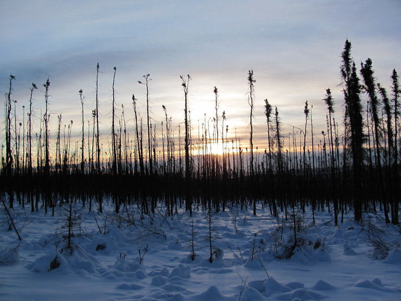 Sun through a stand of dead black spruce. with permission from Spruceboy Credit: Jay Cable, Link: https://yak.spruceboy.net