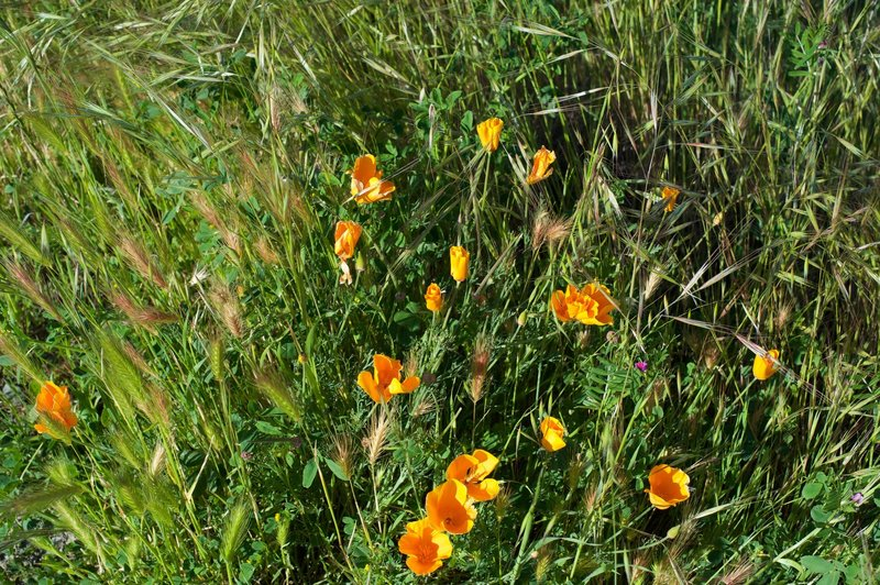Wildflowers bloom in the spring.  California Poppies are seen here.
