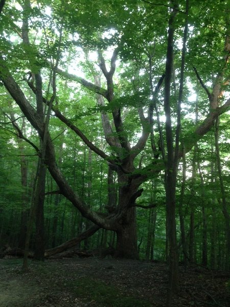 One of several huge, astonishing trees that can be spotted along the trail.