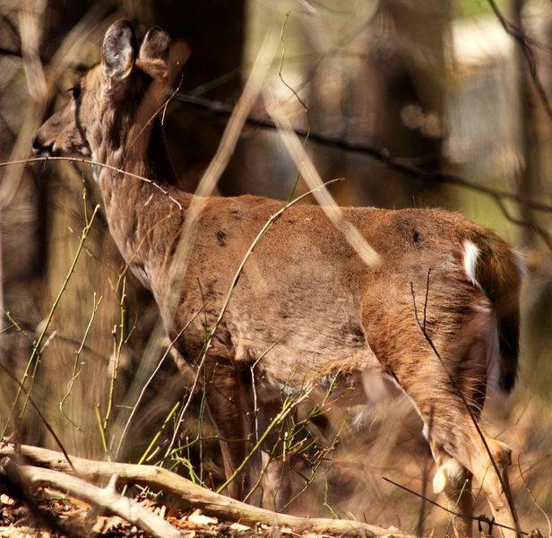 White-tailed deer in Rock Creek Park.