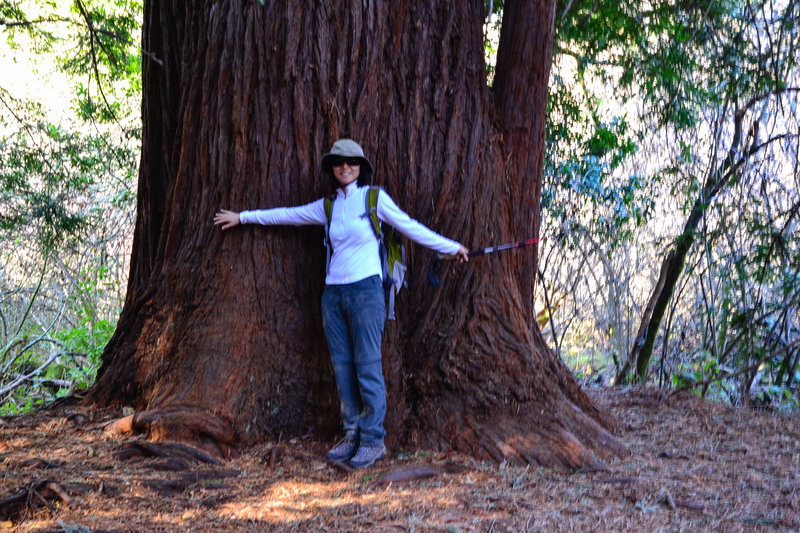 Measuring the massive redwoods along the trail!