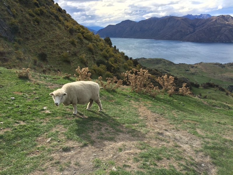 Sheep in front of Lake Wanaka