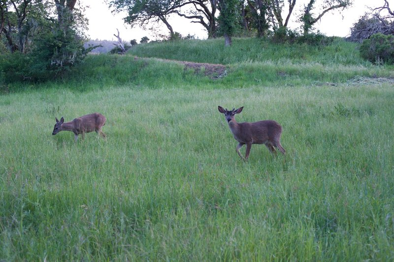 Deer feed in the meadows in the evening.