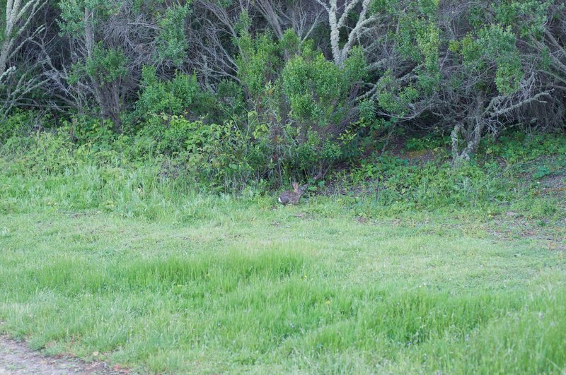 A rabbit feeds by the trail in the evening.