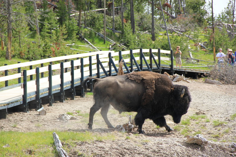 Bison on Mud Volcano.