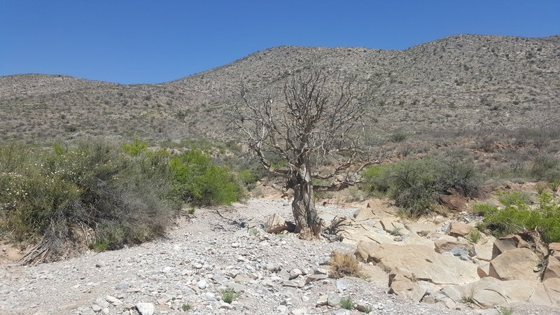 Large dead tree in the wash.