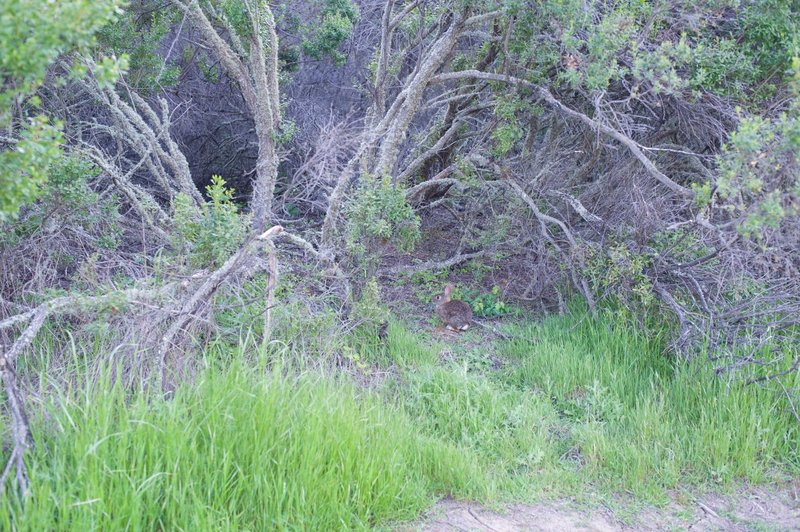 A rabbit sits beside the trail after having its evening meal interrupted.