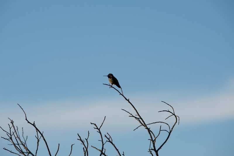 A hummingbird rests in the evening alongside the trail.