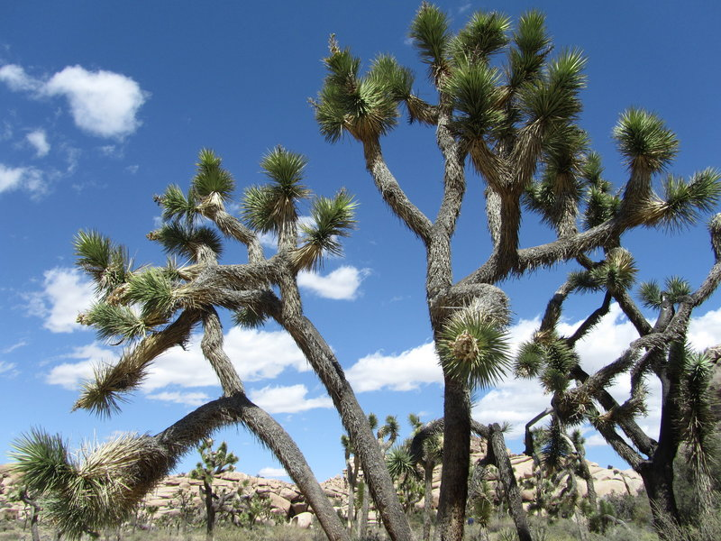 Fanfare of the Joshua Tree, just after passing the Petroglyphs