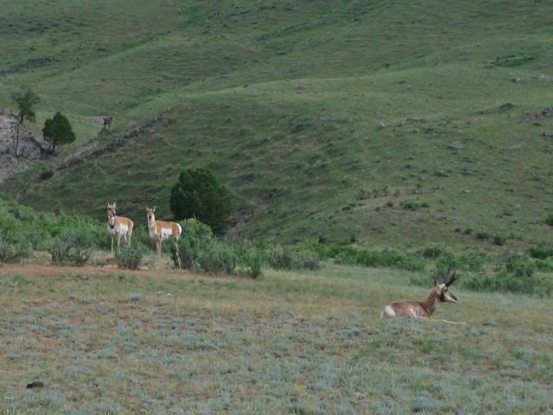 Pronghorn antelope near Rescue Creek Trail.