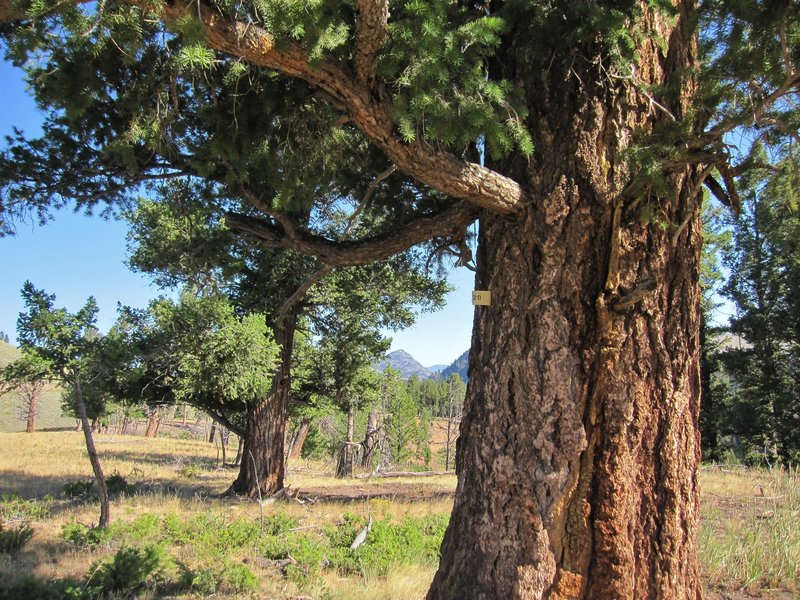 Big Douglas Fir trees along the trail.