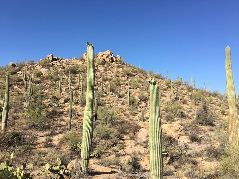 View of Saguaros from Will Dog Trail