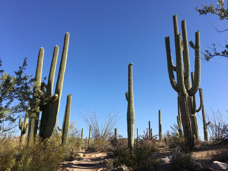 Saguaros along the trail.