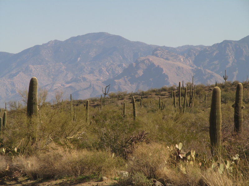 High Mountain Cliffs Contrasting With Saguaro Cacti In Saguaro National Park with permission from David Cure-Hryciuk