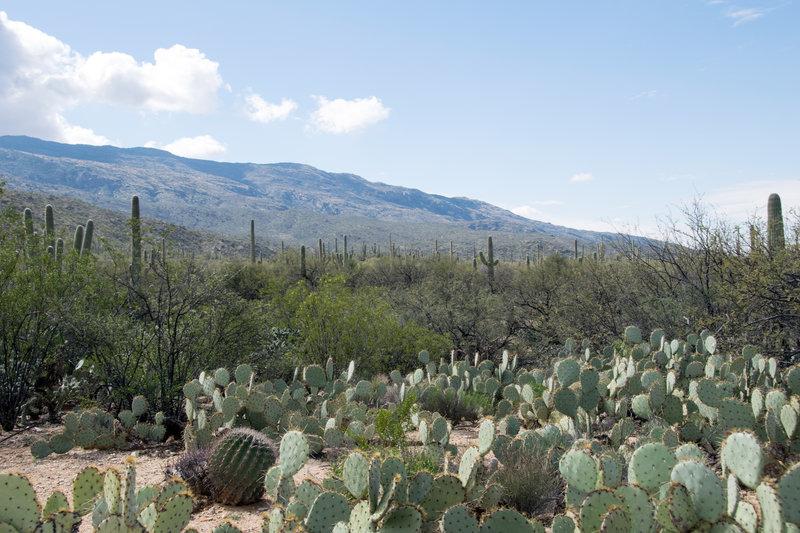"Engelmann prickly pear (Opuntia engelmanni) creates a desert ""understory""."