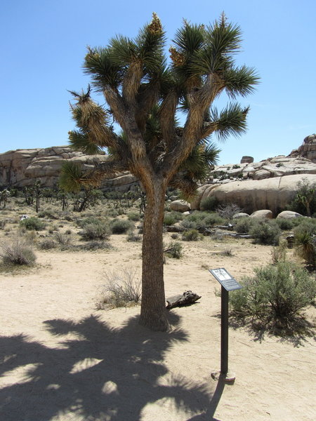 The ubiquitous Joshua Tree, and just incase you did not know what it was, there is a sign.