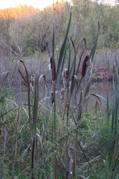 Cattails on Basset Creek Park Pond.