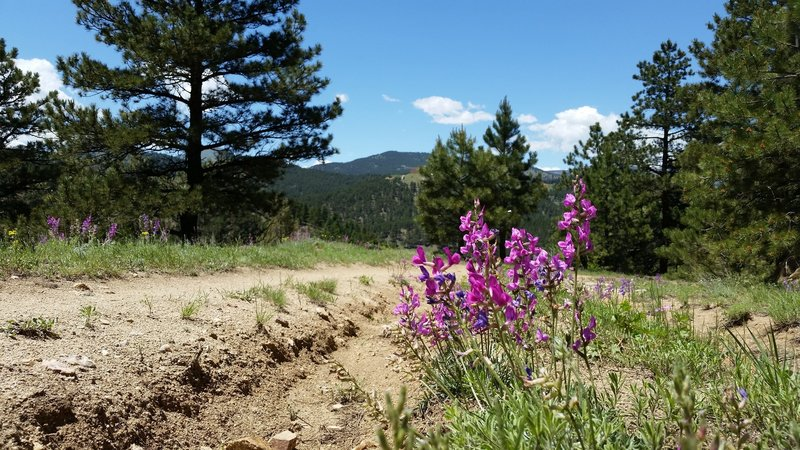 Summer wildflowers bloom on Chapman Drive next to trail damage from the Boulder Floods.