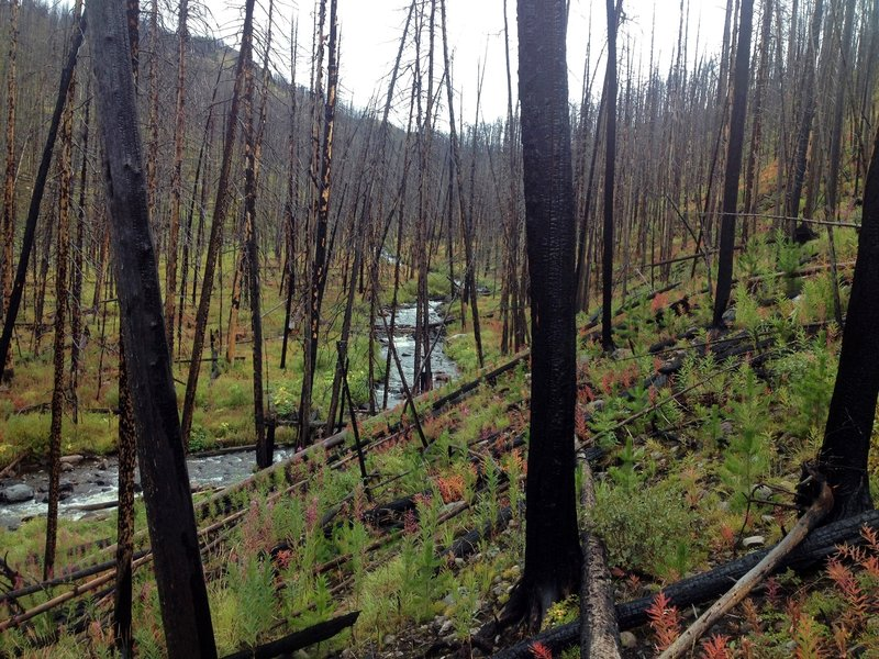 Fire ravaged the young forest along the East Fork of Specimen Creek.