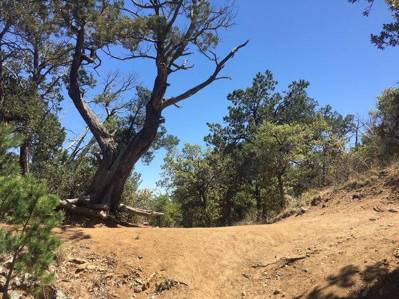 Cow Head Saddle—Douglas Springs Trail Terminus 6800' Elev. Beautiful views with Sycamore, Juniper and Manzanita.